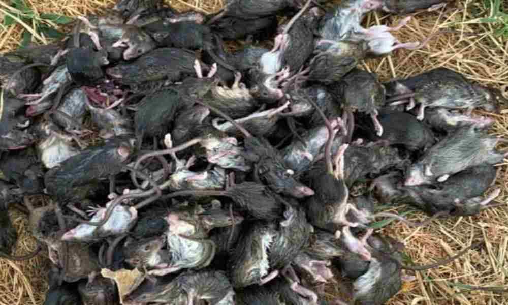 Apocalíptica plaga de ratones aterroriza a  ciudades de Australia