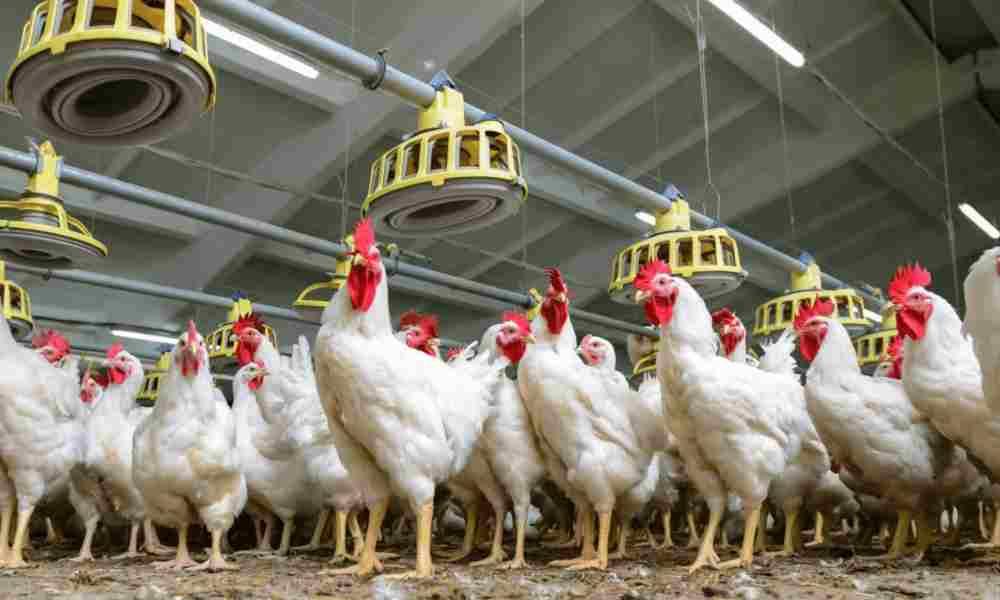 Alemania prohíbe matar embriones de pollo pero permite el aborto
