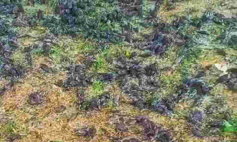 Pájaros caen muertos en un cementerio ¿Señal del fin de los tiempos?